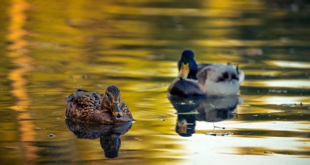 birds on pond gliding toward singing person